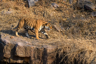 Bengal Tiger walking along the clff, Ranthabhore NP.