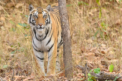 A Bengal Tiger blends in ot the forest in Bandhavgarh NP