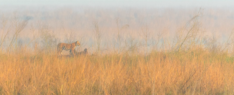 Young Bengal Tiger on a foggy morning in Corbett, NP.