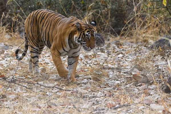 Bengal Tiger patrolling her territory in Ranthambhore NP