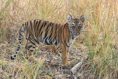 A 7 month old Benagal Tiger cub in Kanha NP, India