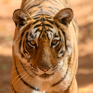 Bengal Tigress Portrait in Ranthambhore