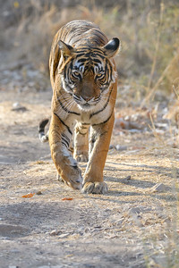 Bengal Tiger making eye contact in Ranthambhore Tiger Reserve