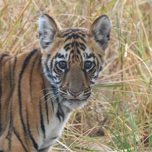 Bengal Tiger Cub Portrait