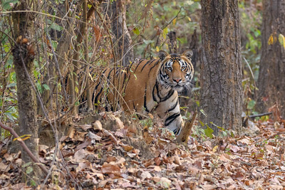 A Bengal Tiger peeks out from the forest in Bandhavgarh.