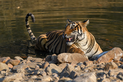 Tigress warning snarl, Ranthambhore NP