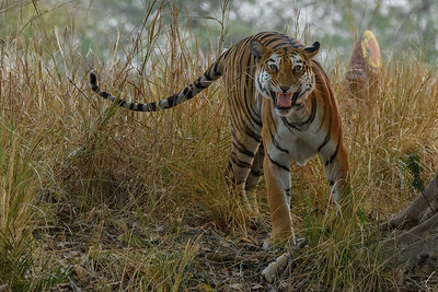 A tigress snarls to protect her cubs in Kanha NP.