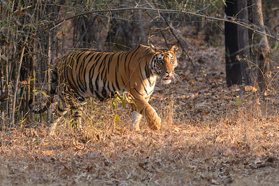 A Bengal Tiger emerges from the bamboo forest of Bandhavgarh Tiger Reserve