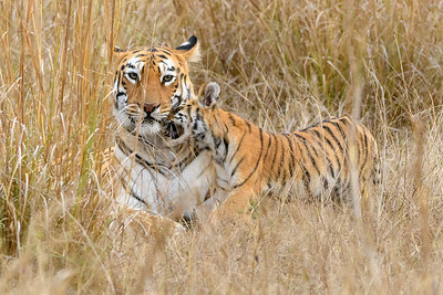 Bengal Tiger cub nuzzles with mom in Kanha, NP.