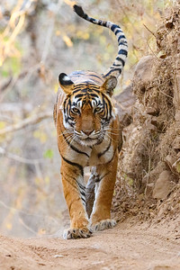A Bengal Tiger walking the roads in Ranthmbhore NP, India.