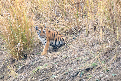 Bengal Tiger Cub in Tadoba NP, India
