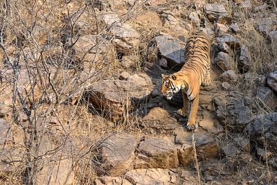 Tigress descending a rockfast towards water, Ranthambhore Tiger Reserve