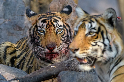 A pair of Bengal Tigers on a kill in Ranthambhore