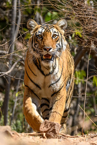 Intense look from this Tigress in Ranthambhore