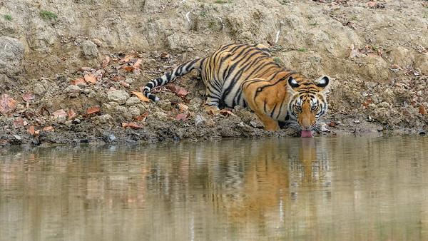 Juvenile Bengel Tiger having a drink at a waterhole in Kanha Tiger Preserve..