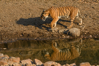 Bengal Tiger reflection, Ranthambhore