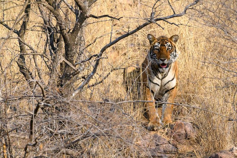 Tigress at Ranthambhore