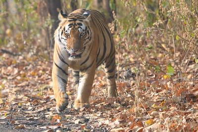 The dominate male of Kanha Tiger Preserve