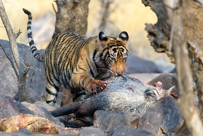 A juvenile Bengal Tiger on a Blue Bull kill in Ranthambhore NP.