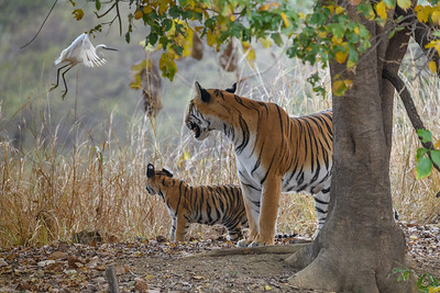 A Little Egret draws the attention of  a Bengal Tigress and her cub.