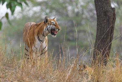 Bengal Tigress calling her twin cubs. Kanha Tiger Preserve.