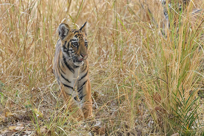 Bengal Tiger cub watching his mom in Khana NP.