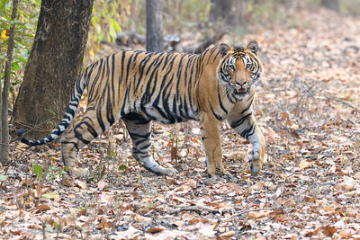 Tiger walking in the Sal forest of Bandhavgarh