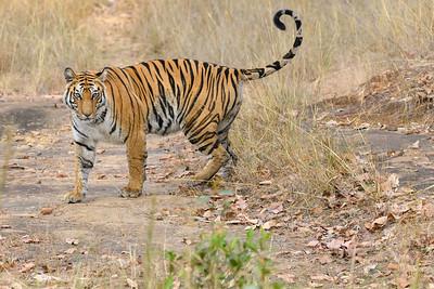 A juvenile Bengal Tiger marking his territory in Bandhavgarh Tiger Preserve.
