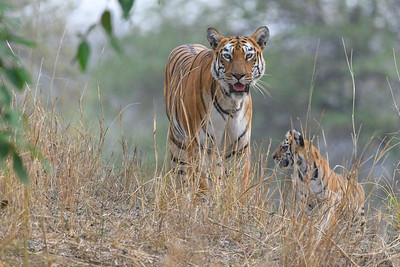 Bengal Tiger mother and cub in Kanha NP.