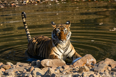 Tigress in a waterhole at Ranthambhore