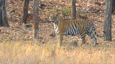 Bengal Tiger surveying her domain in Bandhavgarh.
