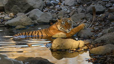 A Bengal Tiger realxing in her favorite water hole in Ranthambhore.