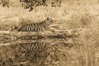 bengal Tiger Bandhavgargh Tiger Reserve