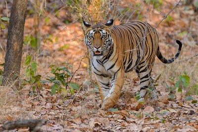 Bengal Tiger walking in the forest of Bandhavgarh.