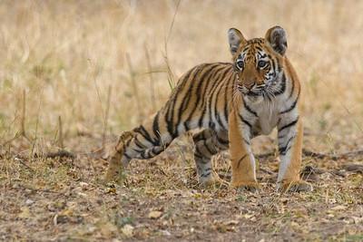 Curious Cub - Bengal Tiger in kanha