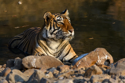 Tigress in sweet light, Ranthambhore