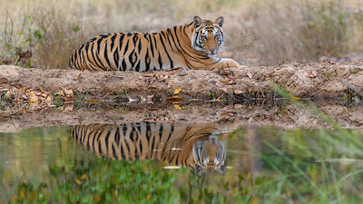 Bengal Tiger reflection at the waterhole in Bandhavgarh Tiger Reserve
