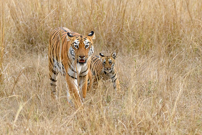 A Bengal Tigress walking with her cub in Kanha NP.