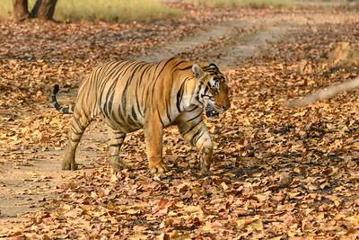 Bengal Tiger, Panthera tigris tigris