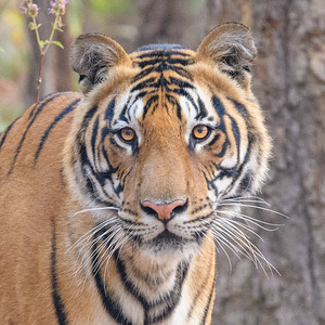 Bengal Tiger Portrait in Bandhavgarh India