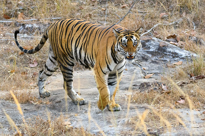 Unhappy Kitty - Bengal Tiger in Bandhavgarh