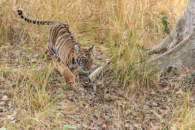 Bengal Tiger cub exploring his territory