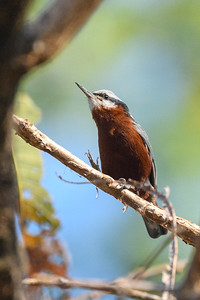 Chestnut-bellied Nuthatch foraging in Bandhavgargh forest.