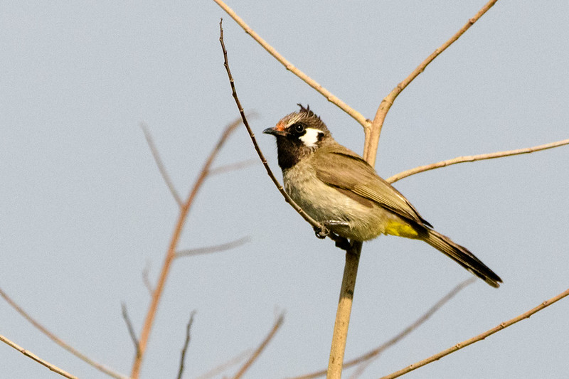 White-cheeked Bulbul in Corbett NP, India.