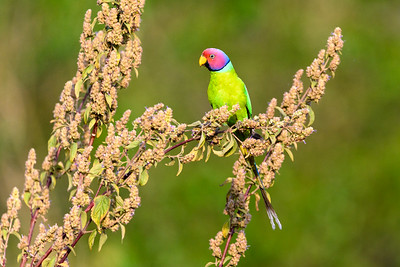 Plum-headed Parakeet in Corbett Tiger Reserve, India