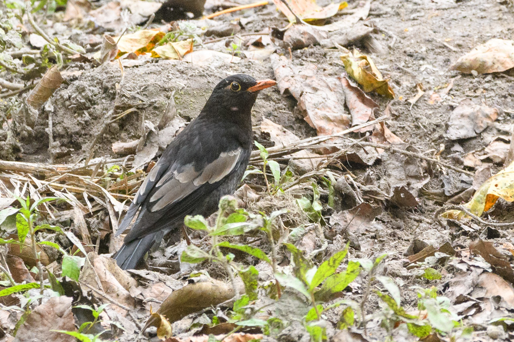 Grey-winged Blackbird on the forest floor in Corbett Tiger Reserve.