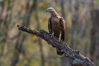 Oriental or Crested Honey Buzzard perched in the forest of Tadoba Tiger Reseerve.