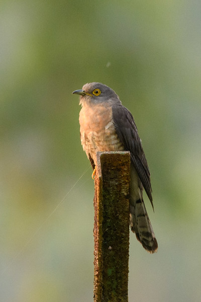 Common Hawk-cuckoo in Sunderbans NP, India.