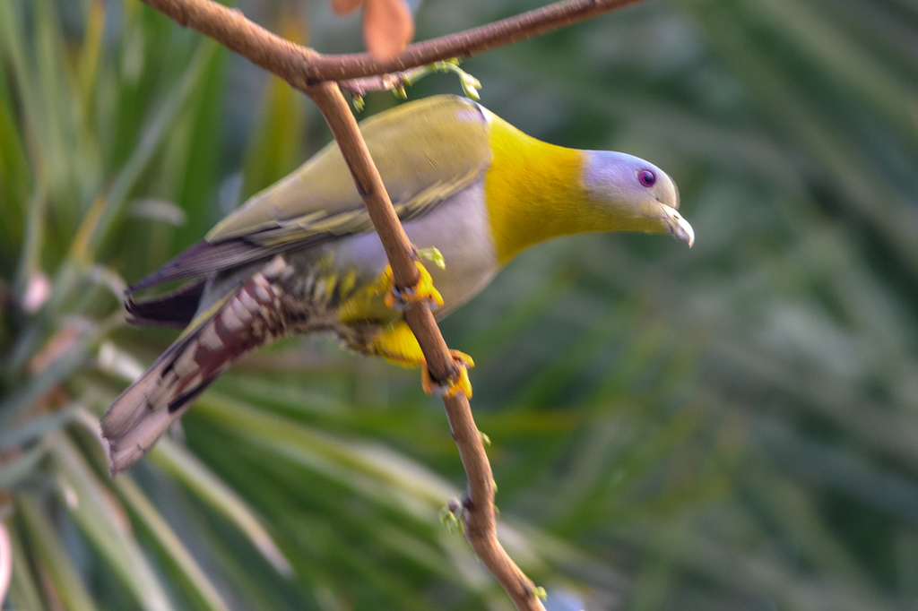 Yellow-footed Green Pigeon prepares to fliy in Sunderbans Tiger Reserve.