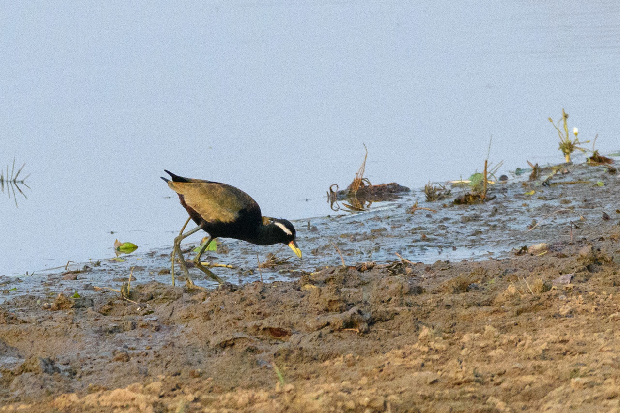 Bronze-winged jacana foraging in Tadoba NP.